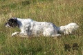Setter Anglais ROONEY DEL SARGIADAE